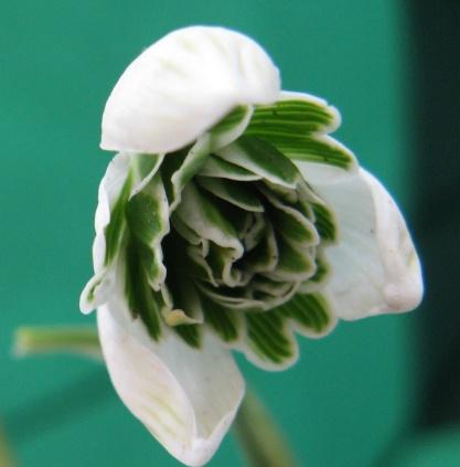 Galanthus Jacquenetta