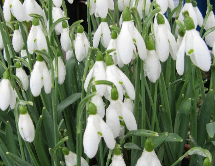 Galanthus White Cloud Foto Brandt